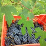 barbera basket