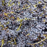 barbera grapes from the collecting vat