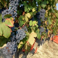 Dolcetto harvest