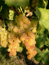 26th  August 2015: let's start the harvest……with the moscato grapes