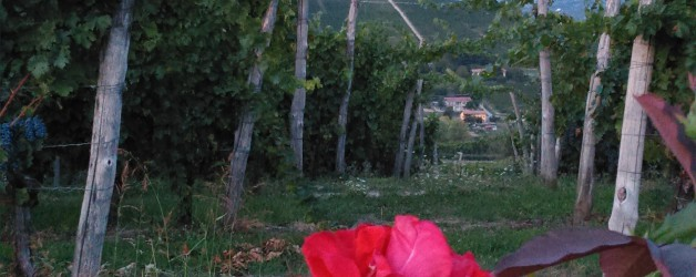 """Is it the time of Barbera? Yes, today we are harvesting the Barbera """"Le Rose"""": our NIZZA 2015"""