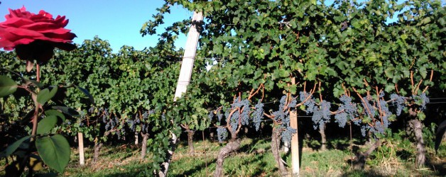 Work in progress…. overmaturation of the Cabernet Sauvignon: the Di.Vino Rosso 2015 will be fantastic!