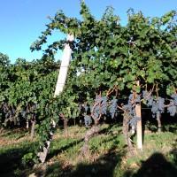 La surmaturazione del Cabernet Sauvignon procede bene….il Di.Vino Rosso 2015 sarà fantastico